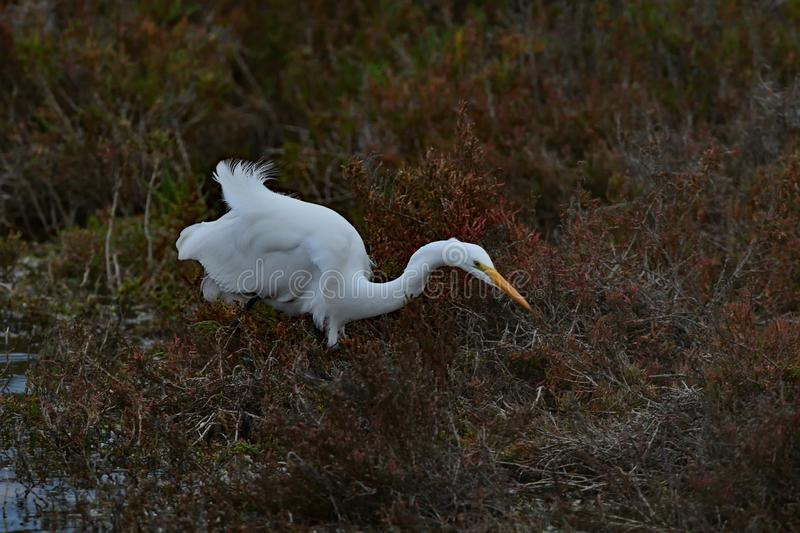 A Great Egret Catching Flies royalty free stock photos