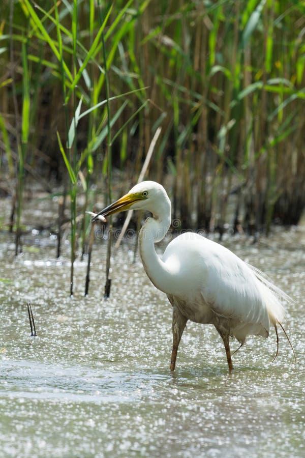 Download Great Egret stock image. Image of netherlands, heron - 32438227