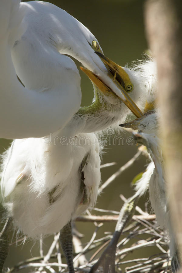 Great egret chicks grabbing adult`s bill in a Florida rookery. stock image