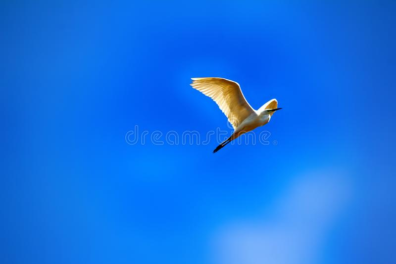 Great egret (Egretta alba) in flight. Great white heron (aigrette, Egretta alba) in flight fold neck in half and pull long legs, wide wings for take-off and stock image