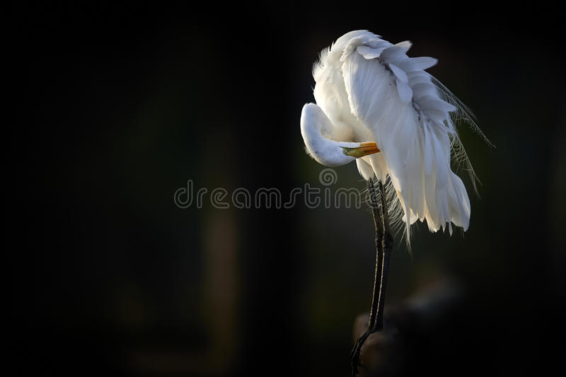 Great egret in the evening light. Great egret in the wonderful evening light stock photo
