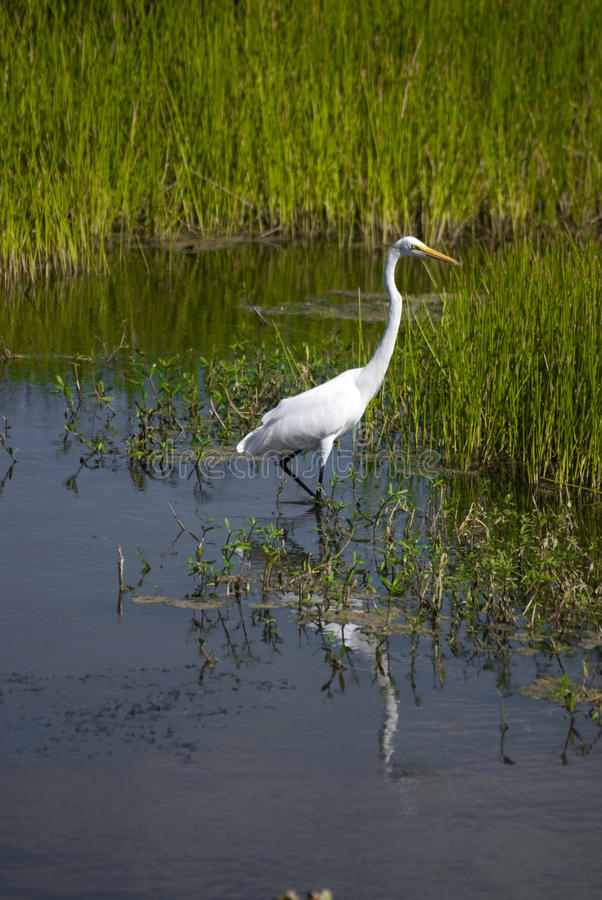 Great Egret In the Everglades. A great egret in the florida everglades stock images