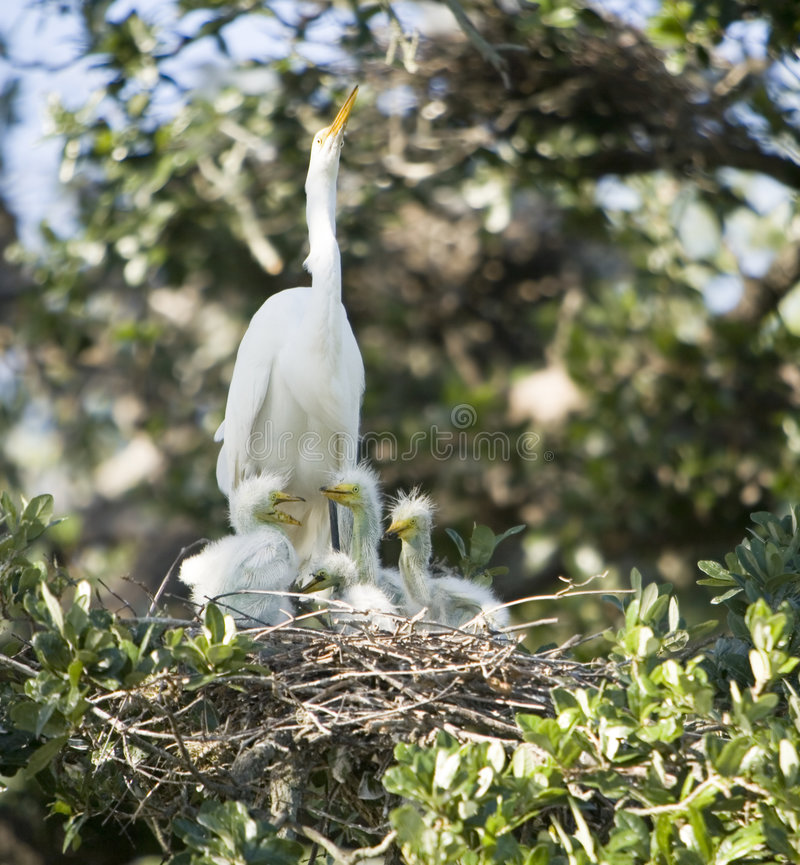 Great Egret family royalty free stock image