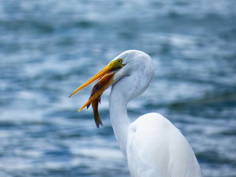 Great Egret & Fish at Lake Atitlan. Look at me, eating fish as lunch at Lake Atitlan stock image