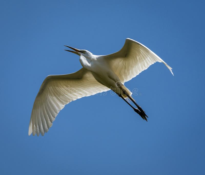 Great Egret Flies Overhead Against Blue Sky royalty free stock photos