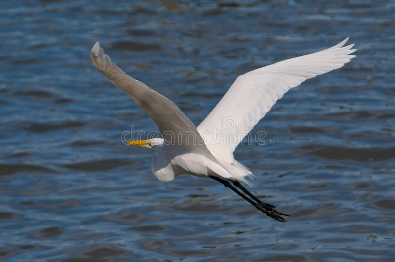 Download Great Egret in Flight stock image. Image of nature, large - 12248537
