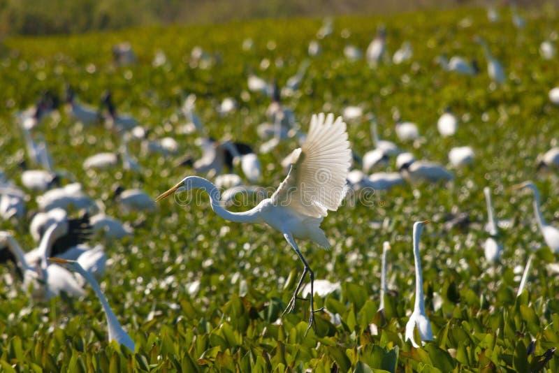 Great egret flight 2 royalty free stock image