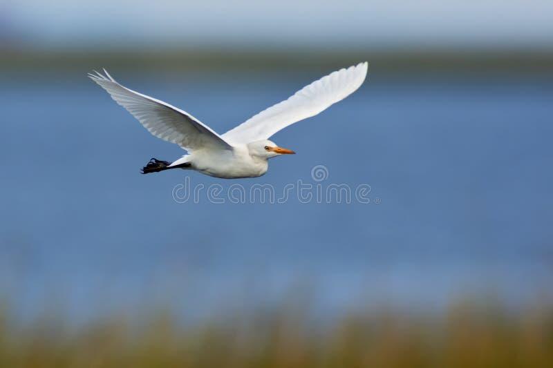 Download Great Egret in Flight stock image. Image of water, swamp - 21026231