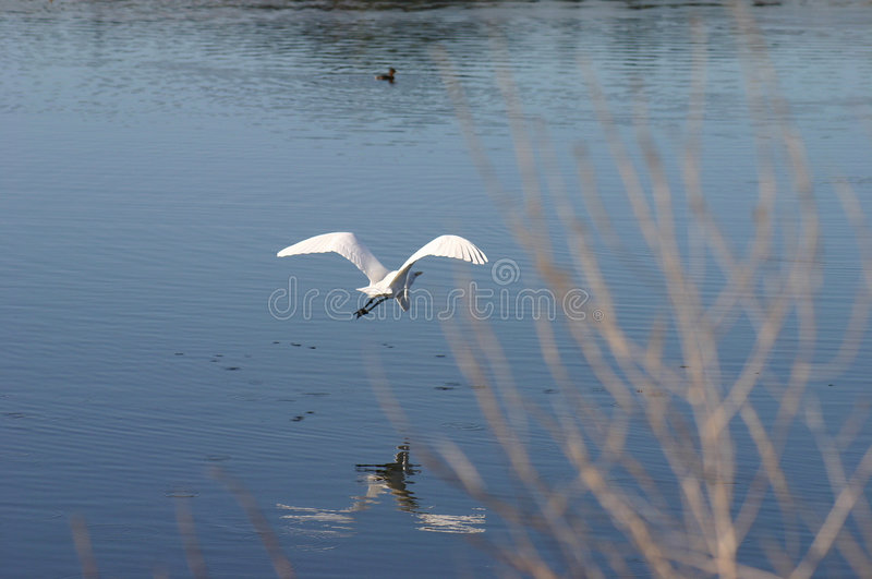 Great Egret in Flight royalty free stock photos