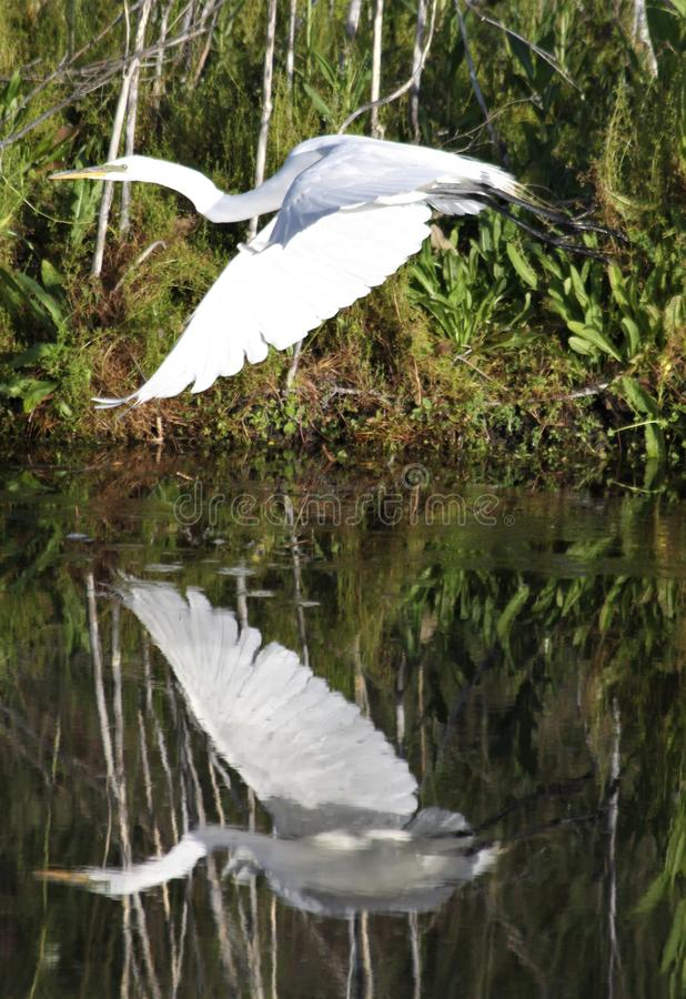 Great Egret Flight Reflection. A Great Egret, also known as the common egret, takes off from the shore of a marsh with reflection in the water at Lower Klamath stock image