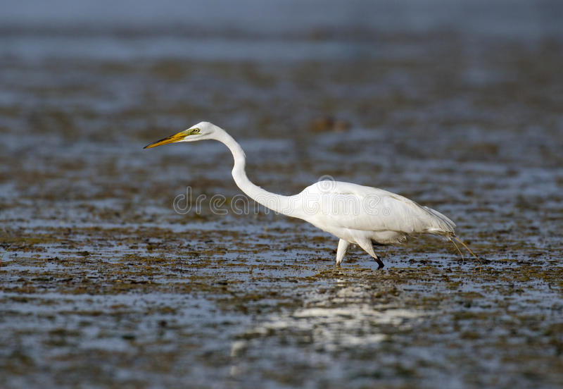 Great Egret In Florida Marsh Stock Image