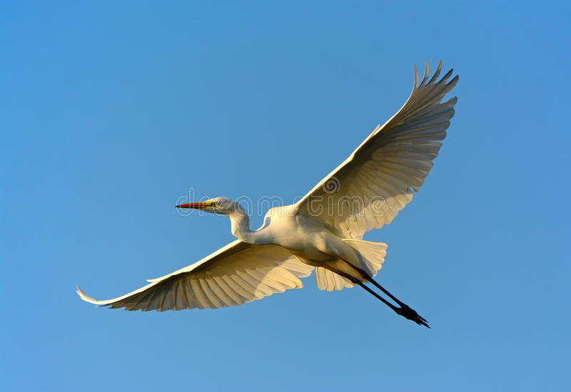 Great Egret flying. In blue sky royalty free stock photos