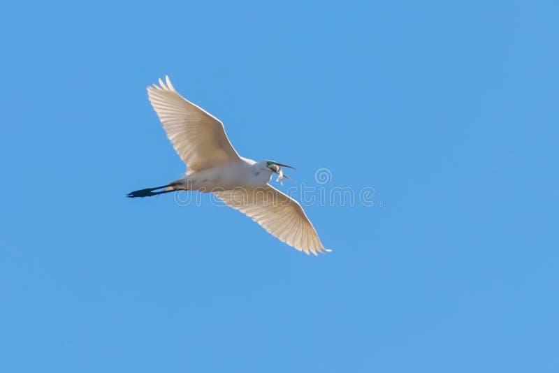 Great Egret Flying with fish in beak, Ardea alba Great Egret Flying with catch stock photos