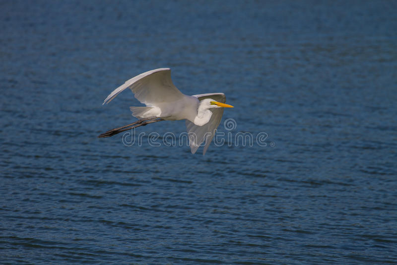 Great Egret flying in nature. Great Egret in nature Ardea alba flying ,close up bird in nature Thailand stock image