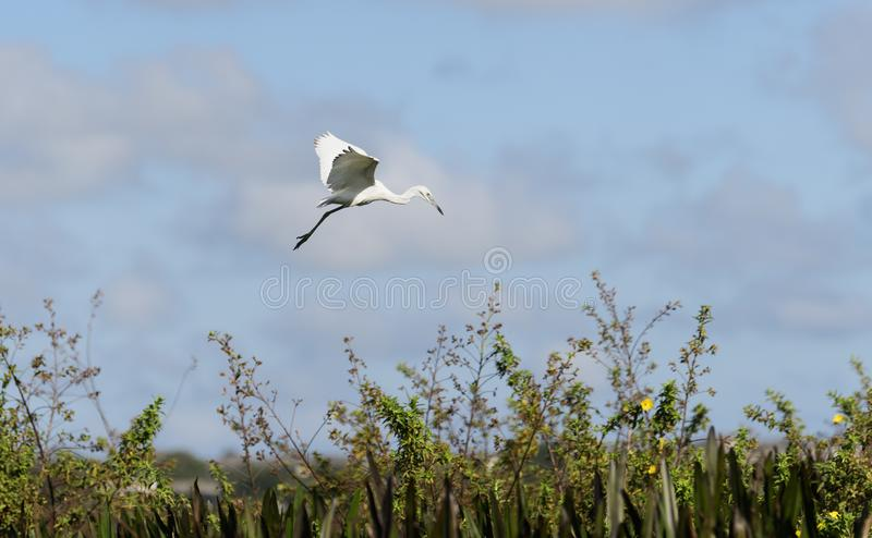Great egret flying over reeds and plants stock photo