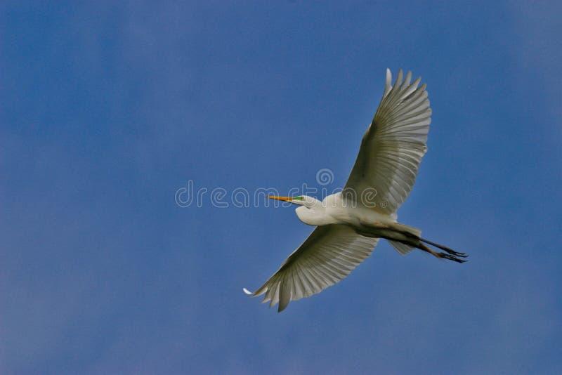 Great Egret Flying Under Blue Sky stock photo