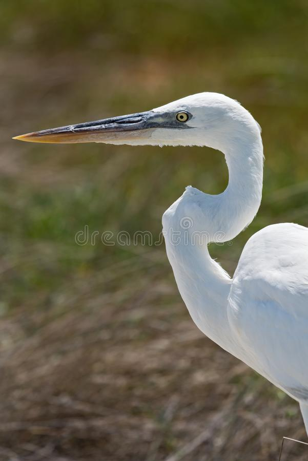 Great egret gets a close up head shot, holbox, mexico stock images