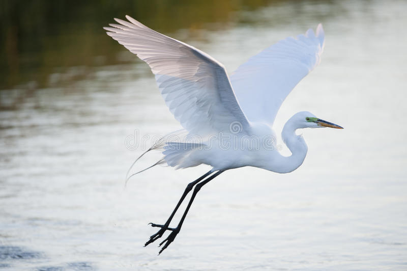 Great Egret glides over water stock image