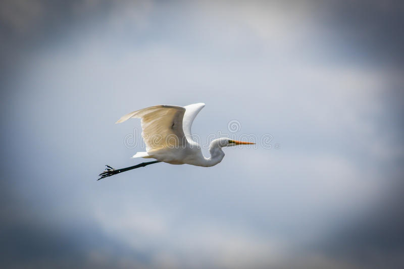 Great Egret 1 stock photography