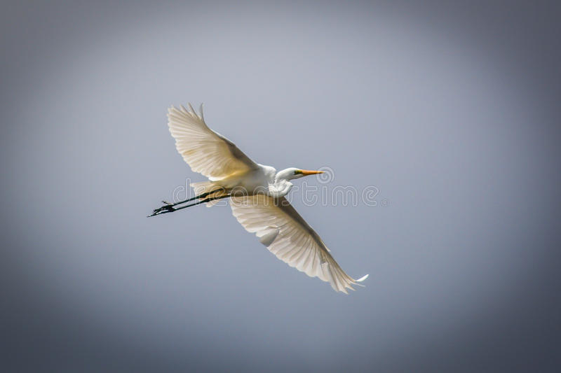 Great Egret 2 royalty free stock photo