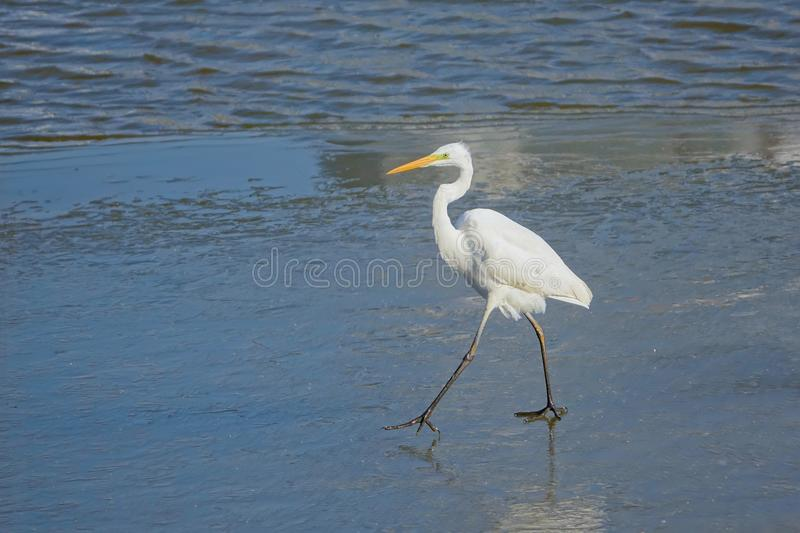 Great Egret. A Great Egret walks on ice in river. Scientific name:Ardea alba royalty free stock images
