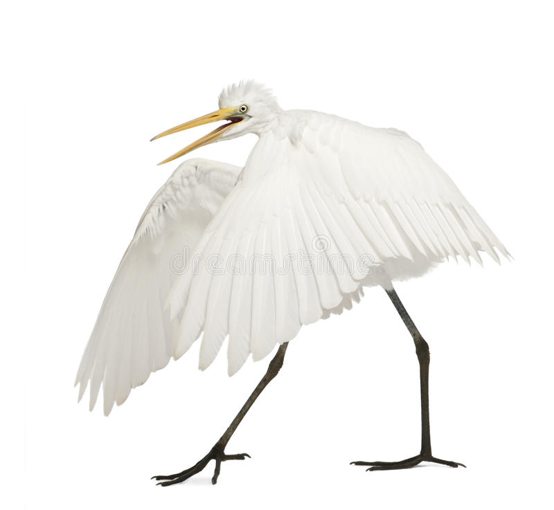 Great Egret or Great White Egret royalty free stock photos