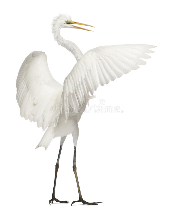 Great Egret or Great White Egret stock photo