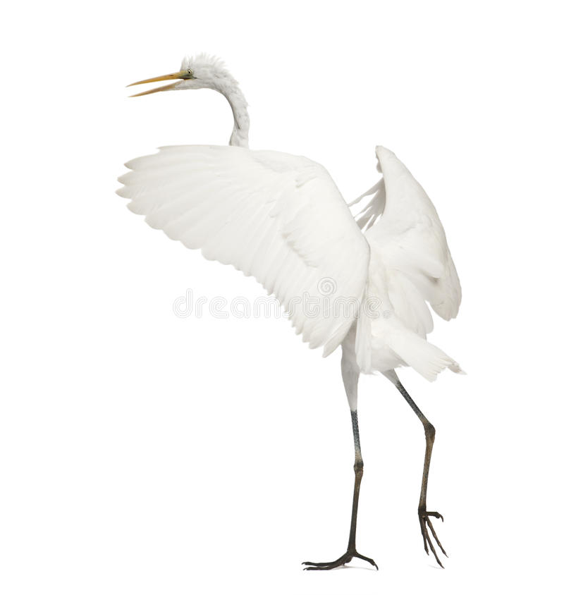 Great Egret or Great White Egret royalty free stock image