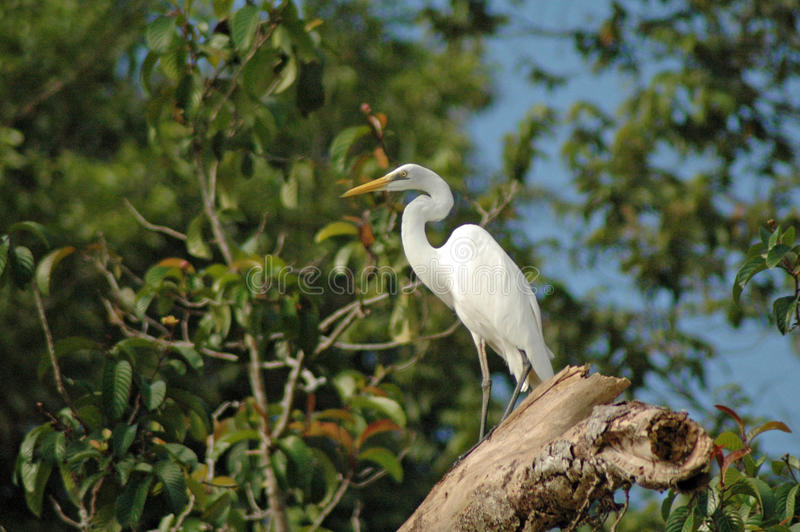 Great Egret on Kinabatangan River, Sabah. Great Egret in trees by Kinabatangan River, Sabah (Borneo), Malaysia royalty free stock image