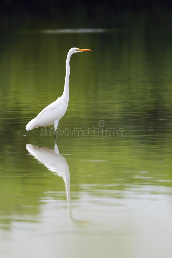 Great egret in the lake. stock images