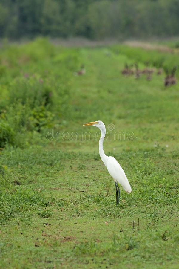 Great Egret on the Levee stock photography