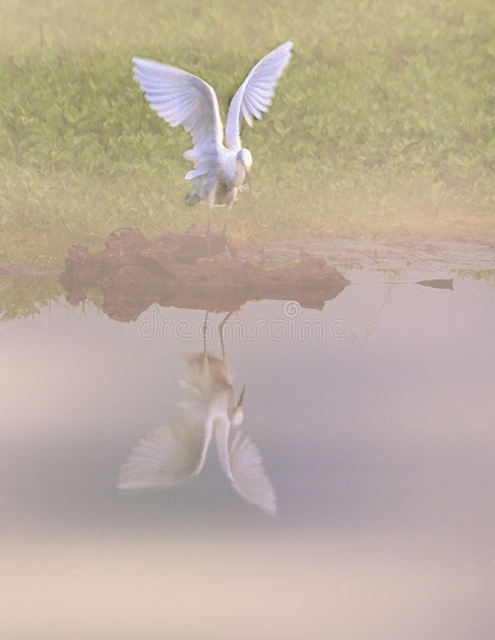 Great egret looks at its reflection royalty free stock photo