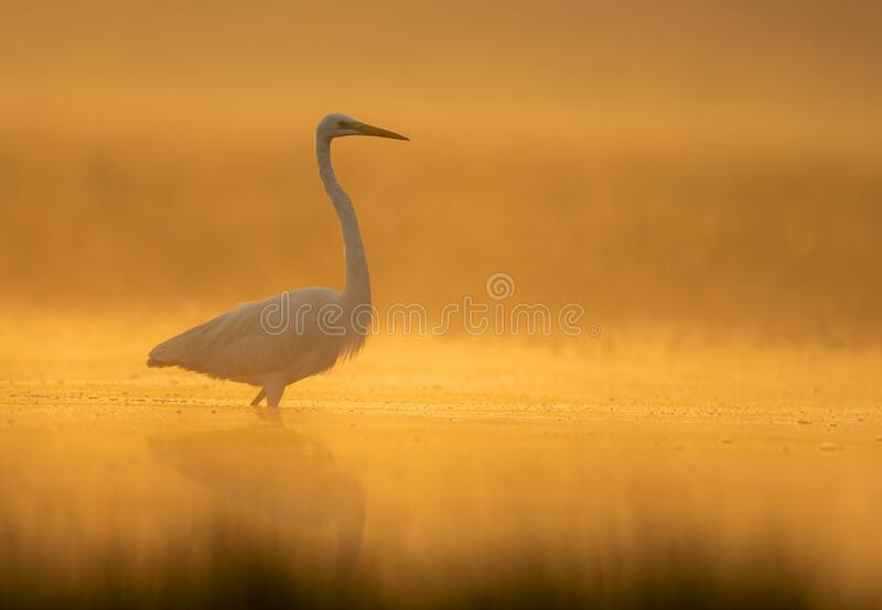 Great Egret in misty Morning stock photo