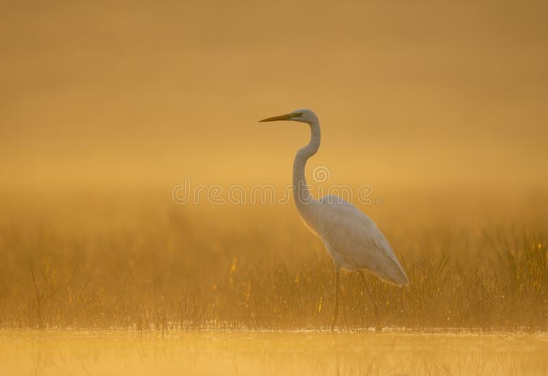 Great Egret in misty Morning royalty free stock photo