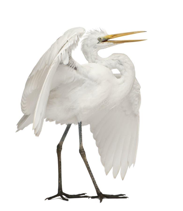 Free Great Egret Or Great White Egret Stock Photos - 24708523