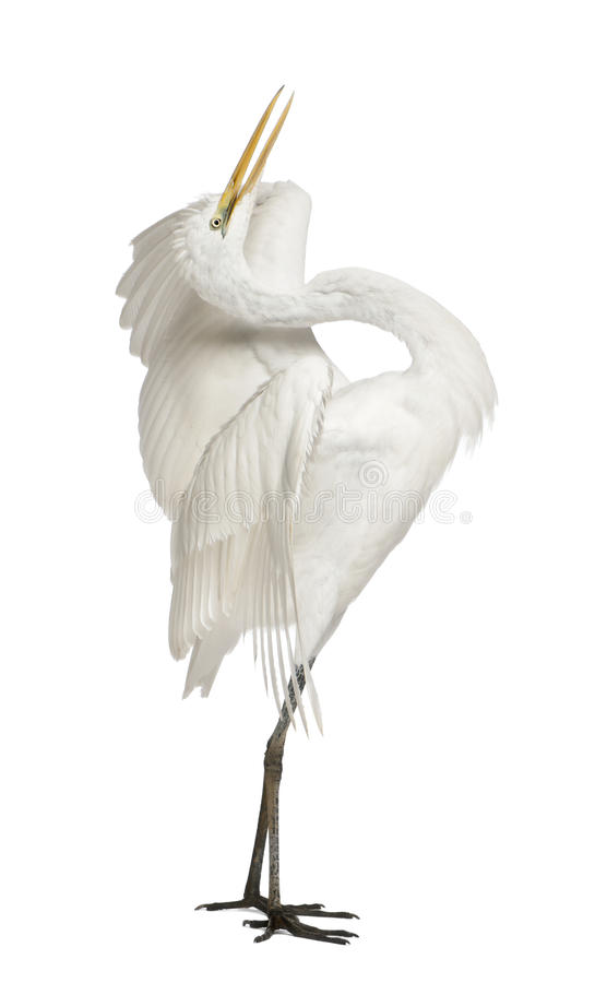 Free Great Egret Or Great White Egret Stock Photos - 24708543