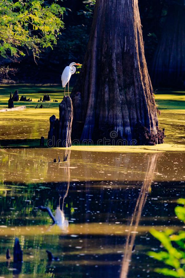 Tranquility in the marsh. Great Egret perched on top a tree stump in a marsh area of Bald Knob National Wildlife Refuge, in Bald Knob, Arkansas, September 2017 stock image