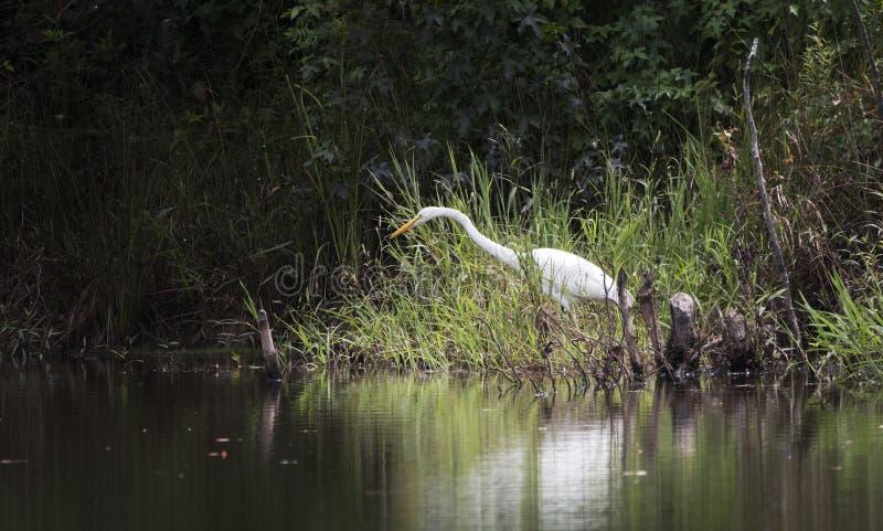 Great Egret on pond, Georgia USA. White Great Egret Ardea alba heron wading bird on swamp pond in Georgia, southest United States. Large white heron with a large stock photography