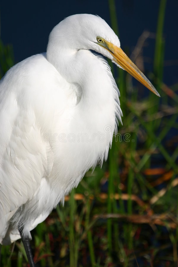 Great egret portrait royalty free stock photography