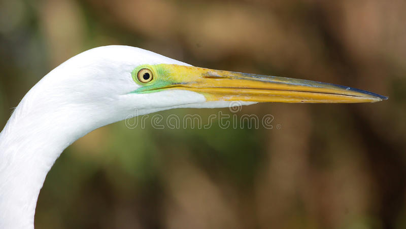 Download Great Egret in profile stock image. Image of rituals - 12855913