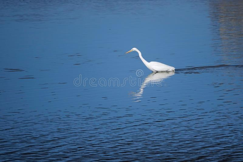 Great Egret. A Great Egret seatches for food in the river. Scientific name:Ardea alba royalty free stock photography