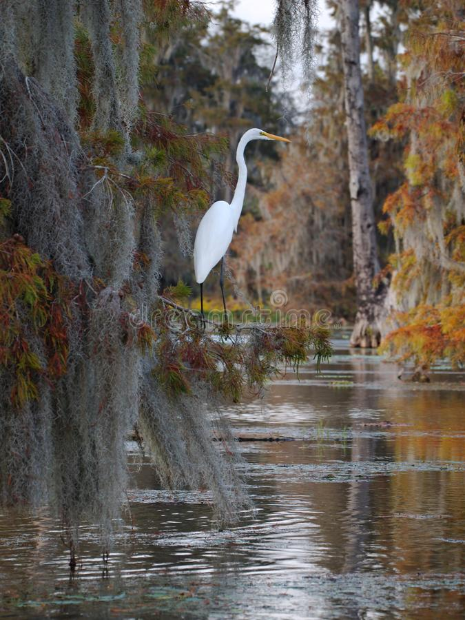 Great egret standing on a cypress tree in Lake Martin stock image