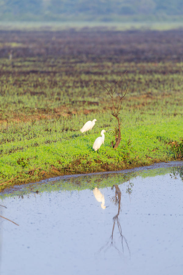 Great Egret standing at the edge of a irrigation ditch with reflection in the water. Taken in Bald Knob National Wildlife Refuge, Bald Knob , Arkansas stock photography