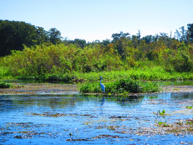 Great Egret stands along the bank of a florida river. A Great Egret stands near a patch of aquatic vegetation along the bank the withlachoochee river, near royalty free stock photos