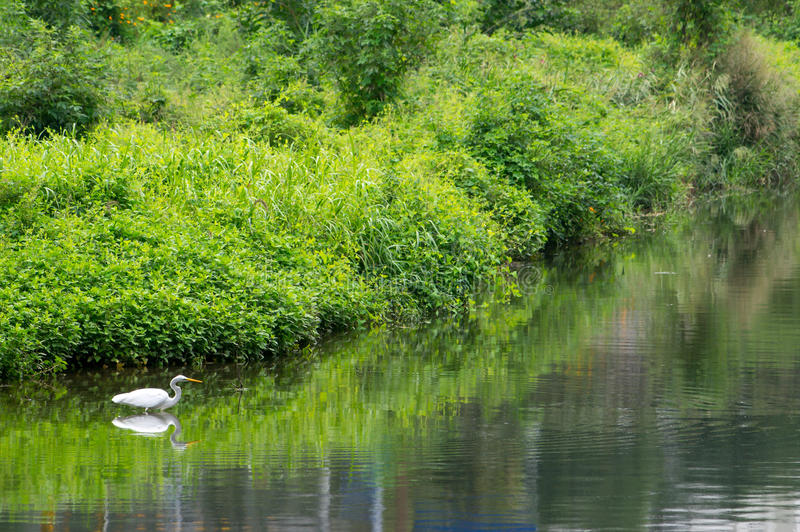 A great egret on the stream stock photos
