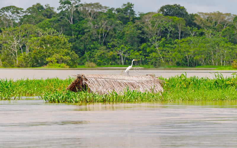 Great Egret on a submerged thatched hut. Great Egret on a submerged hut in the Peruvian Amazon stock photos