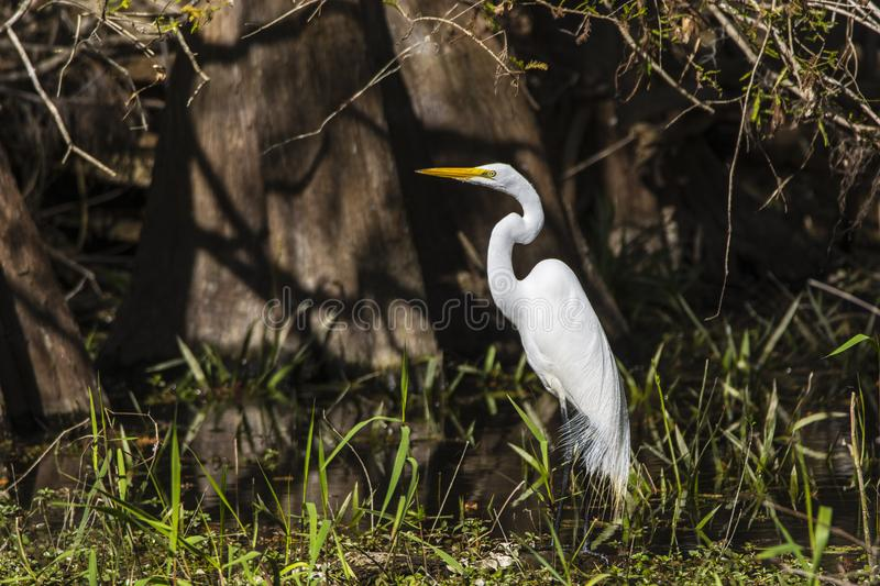 Great egret in a swamp stock photo