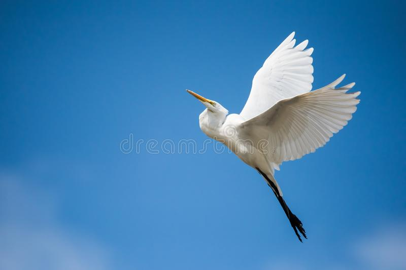 Great Egret Takes Flight into Blue Sky. A Great Egret takes flight at Ashbridges Bay Park in Toronto, Ontario royalty free stock images