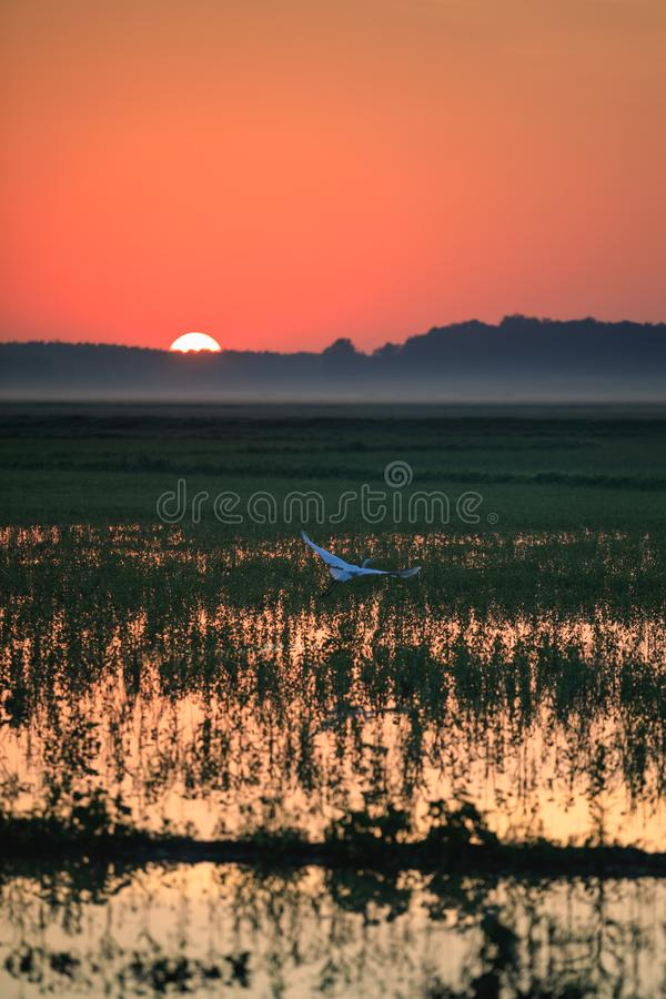 A Great Egret takes flight in a rice field during sunrise over Bald Knob National Wildlife Refuge. In Bald Knob, Arkansas royalty free stock photo