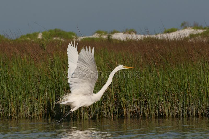 Great Egret taking flight in Fort De Soto State Park, Florida. royalty free stock photo